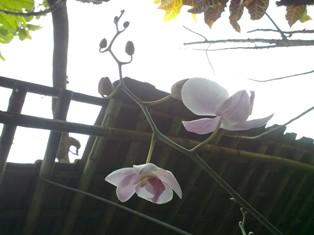anggrek-benih